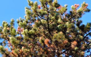 Cancro resinoso do pinheiro