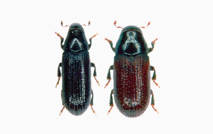 Common Pine Shoot Beetle