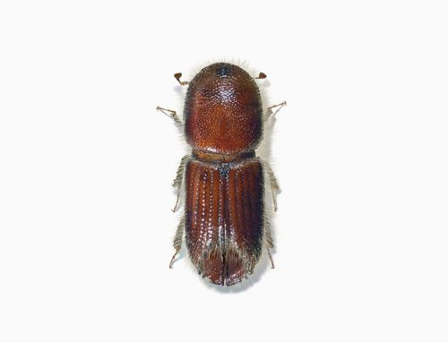 Six-spined Engraver Beetle
